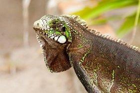shoot an iguana with a pellet gun